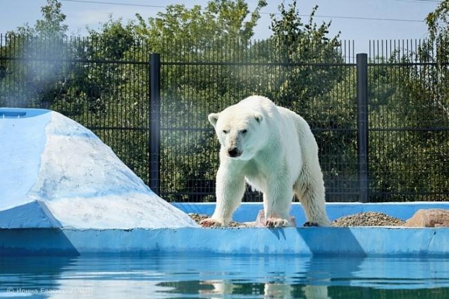 """Image for Фоторепортаж: белый медведь в нижегородском зоопарке """"Лимпопо"""""""