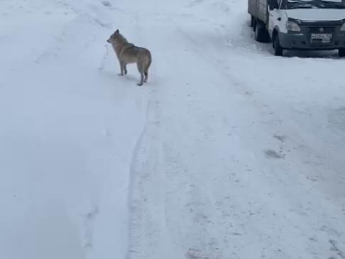 Гибрид волка и собаки напугали жителей Шахуньи