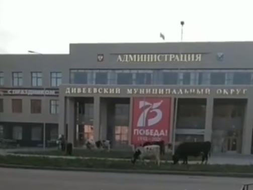 Нижегородская Индия: в Дивееве коровы пасутся возле здания администрации