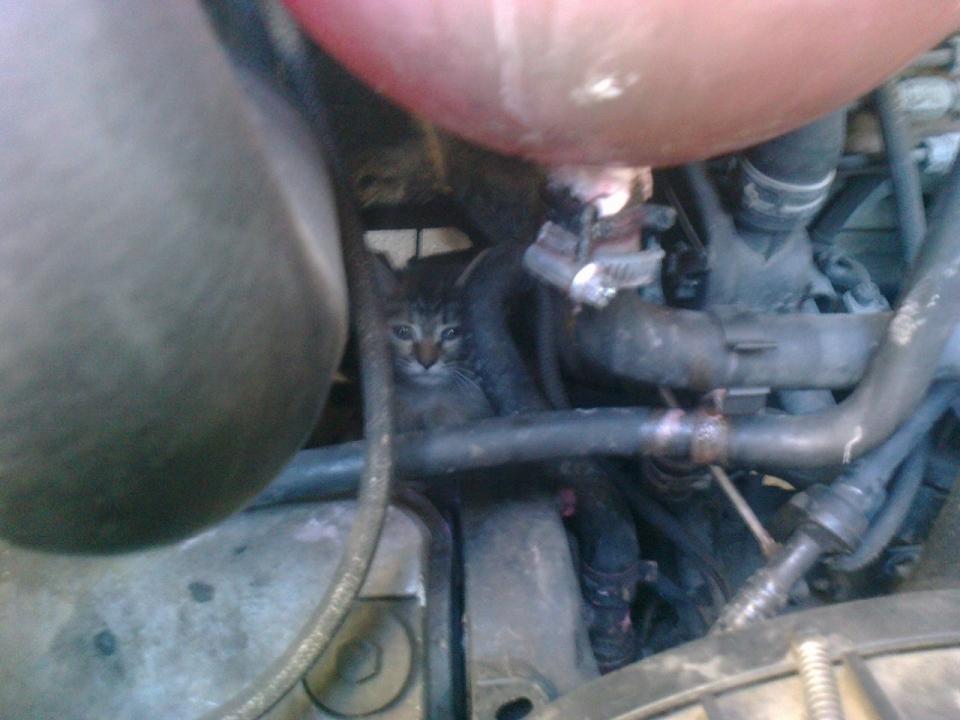 Image for Незваные гости в вашем авто: МЧС предупреждает нижегородцев о котах под капотом